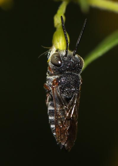 Black and White Bee with brown legs and wings - Coelioxys - male