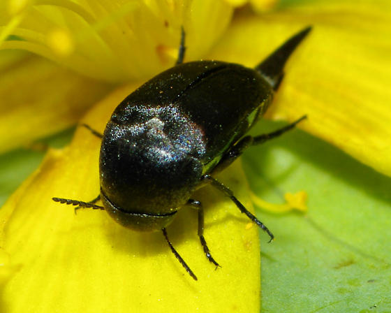 Spike tailed beetle