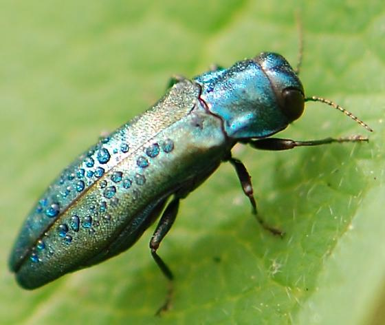 iridescent blue flying bug - Agrilus cyanescens