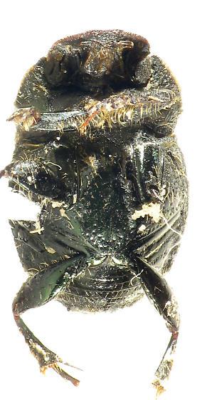 green dung beetle - Onthophagus