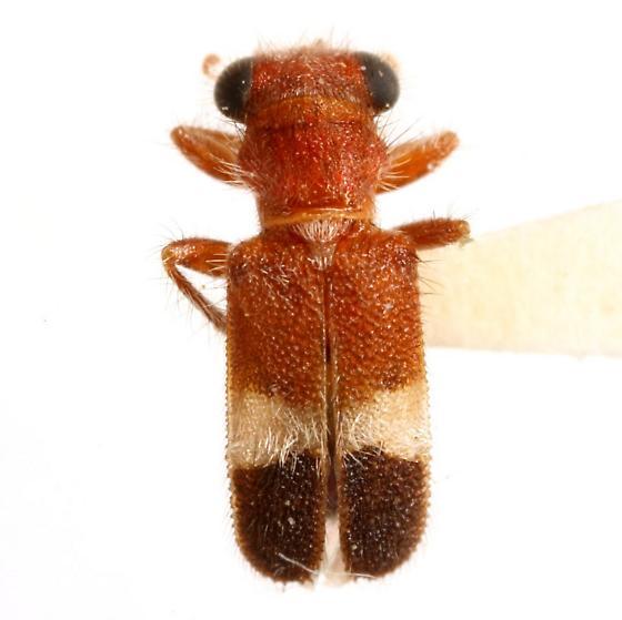 Phyllobaenus tricolor (Schaeffer) - Phyllobaenus tricolor