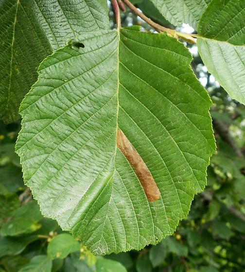 TENTHREDININAE Heterarthrinae: Fenusa dohrnii #2 - Fenusa dohrnii