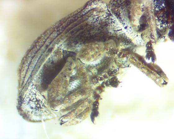 Marsh Weevil - Notiodes