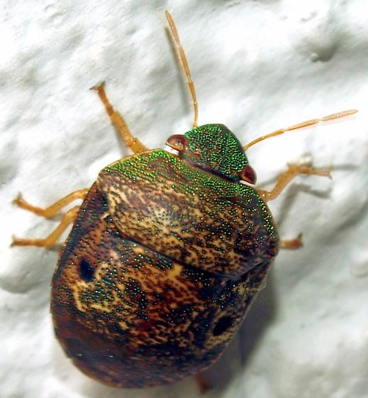 Some kind of stink bug? - Diolcus chrysorrhoeus