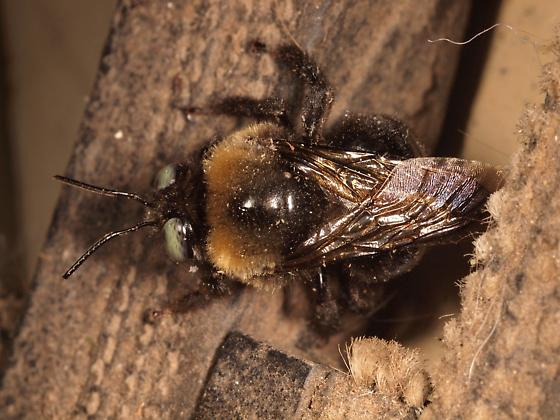 COLD Fuzzy Bumblebee - Xylocopa tabaniformis - male