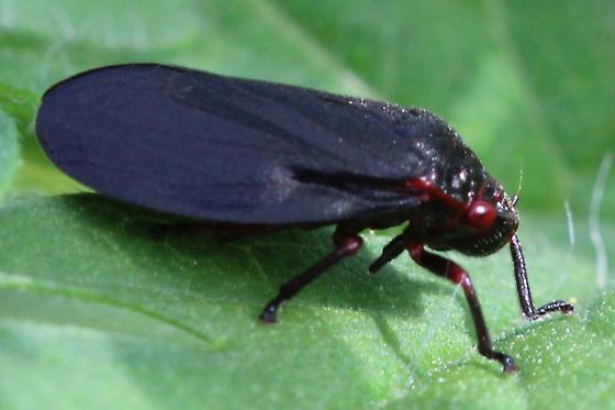 Cool Leafhopper - Prosapia ignipectus