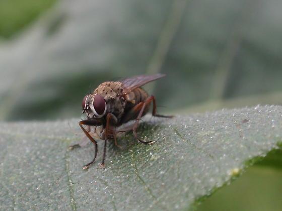 Predatory Fly - Coenosia
