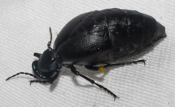 Scared large blister beetle - Meloe