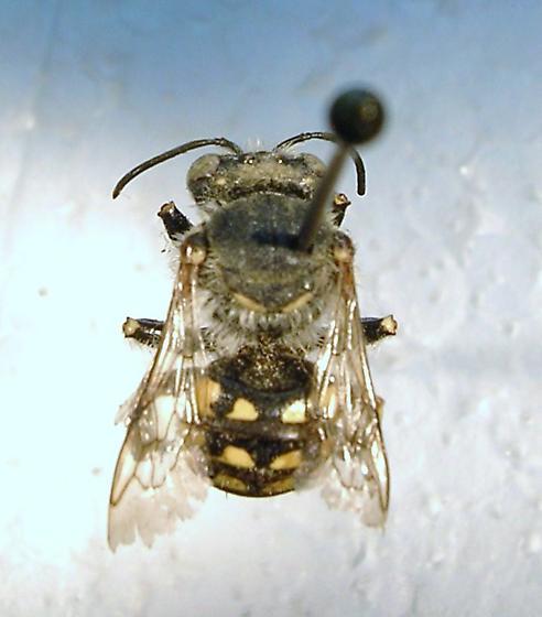 Megachilidae #9 - Anthidium sp. - Anthidium - female