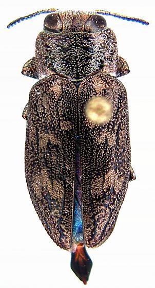 Chrysobothris seminole Wellso & Manley - Chrysobothris seminole - male