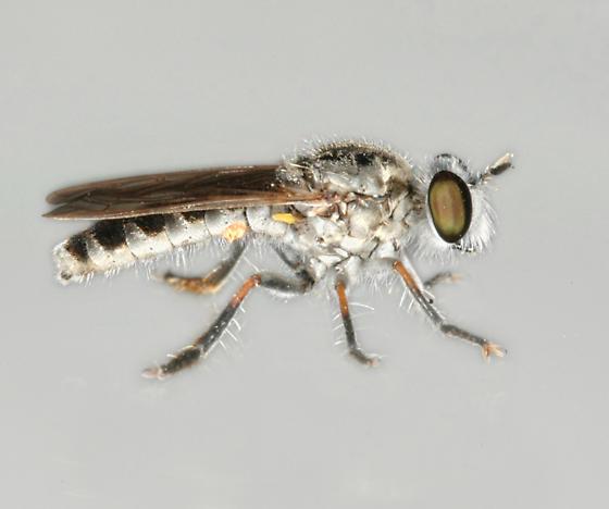 BG1516 286-039a - Laphystia notata - male