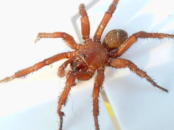 brown spider - Myrmekiaphila