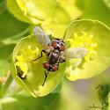 Tachinid fly - Gymnoclytia occidentalis? - Gymnoclytia