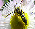 Little wasp - Sapyga centrata