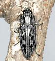 BG2159 353-033b - Chalcophora virginiensis