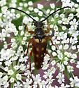 Flower-loving Longhorn beetle - Typocerus velutinus
