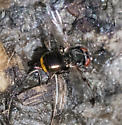 Picture-winged fly (Ulidiidae) – Euxesta notata? - female