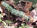 Citheronia regalis - Regal Moth - caterpillar - preparing to pupate - Citheronia regalis