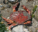 Red Rock Crab - Cancer productus