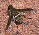 Exoprosopa sp - Exoprosopa rostrifera