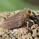 Issid Planthopper - Aplos simplex