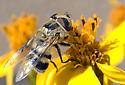 Copestylum apiciferum  - Copestylum apiciferum - female