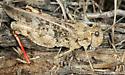 grasshopper - Cratypedes? - Cratypedes lateritius - female