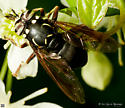 Diptera. Genus? - Spilomyia fusca - male