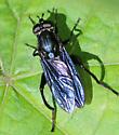 possibly Syrphidae Chalcosyrphus species?  - Chalcosyrphus chalybeus