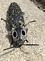 Unknown beetle perhaps - Alaus oculatus