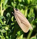 brownmoth-fake eye - Phryganidia californica - female