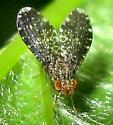 Fly - Trypetisoma sticticum