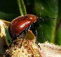 Weevil - Merhynchites bicolor, I think