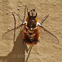 Large Orange Bee Fly - Villa