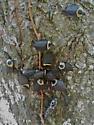 American Carrion Beetle (Necrophila americana) - Necrophila americana - male - female