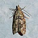 unidentified moth - Epinotia subviridis