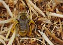 Bees on Ground (Near wedge-shaped beetles) - Diadasia