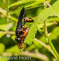 Wasp Podium luctuosum? - Podium luctuosum - female