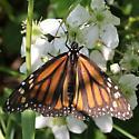 Monarch - MN May - Danaus plexippus - female