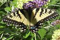 Butterfly - Papilio glaucus - female