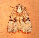 Black-banded Brocade - Hodges#9404 - Oligia modica