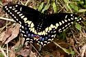 Black Swallowtail - Hodges #4159 - Papilio polyxenes - male