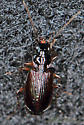 Carabidae  - Badister