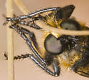 Robber fly? - Laphria asackeni - male