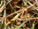unidentified Mantis - Mantis religiosa - male
