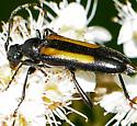 Flower Longhorns Species Strangalepta abbreviata - Strangalepta abbreviata