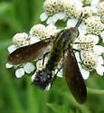 hump-backed bee fly - Lepidophora lutea