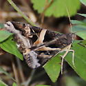 Indomitable Melipotis Moth? - Melipotis indomita