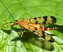 Mecoptera - Panorpa