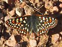 Euphydryas sp. - Euphydryas anicia